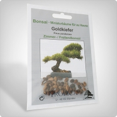 Pflanzensamen, Bonsai - Goldkiefer
